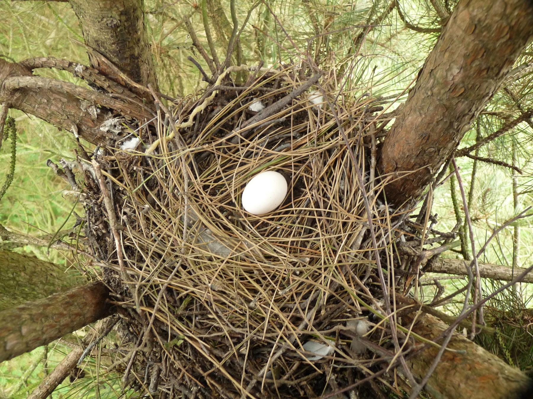 Wood_Pigeon_Nest_30-08-10_4952114824-e1479824689399.jpg